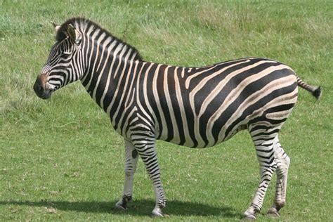 Chapman's zebra; Marwell; 2nd August 2009 » Marwell ...