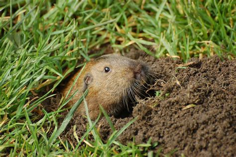 gopher in backyard gopher grabbers humanely dispatches pests 1 800accountant