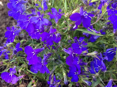 What Is The Name Of These Small Blue Garden Flowers Blue Garden Flower