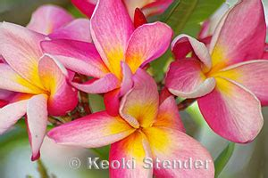 Bunga Plumeria Frangipani Pink Marine plumeria plumeria x rubra