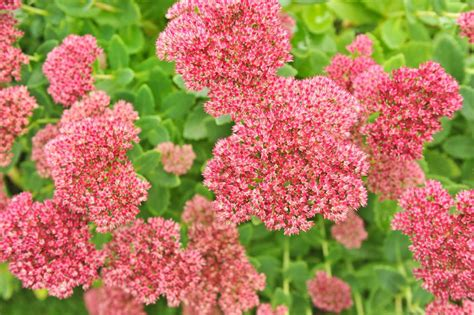 different kinds of stonecrop sedum slideshow