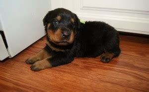 rottweiler puppies for sale billings mt pets free classified ads