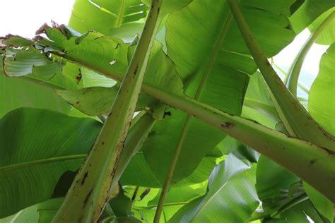 luftfeuchtigkeit in wohnungen wie hoch bananenpflanze bekommt braune bl 228 tter das hilft der
