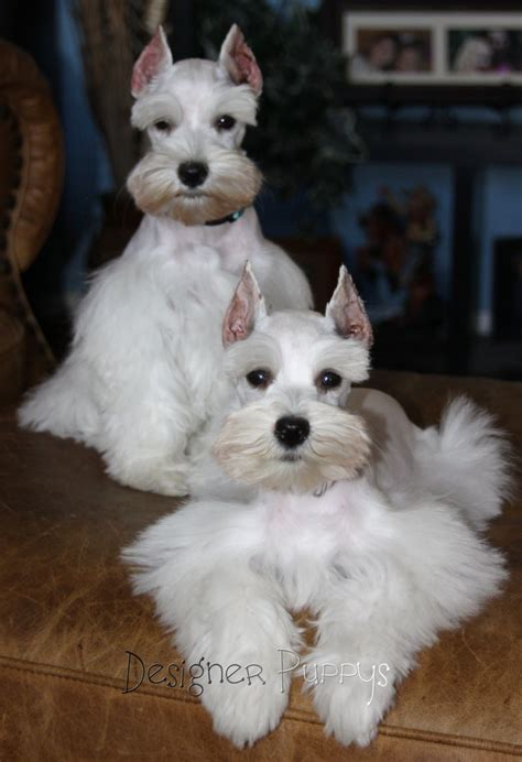 white schnauzer puppy a j lonestar farms white teacup schnauzer stud