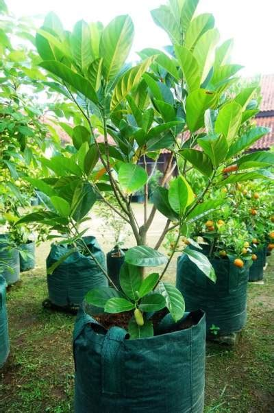 20 Tanaman Buah Dalam Pot Rajin Berbuah 5 panduan tepat budidaya tanaman buah nangka mini didalam pot tabulot agar rajin berbuah