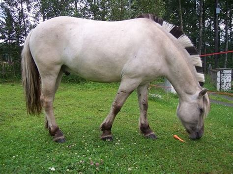 fjord horse facts fjord my favorite all creatures great and small