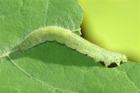 garden worms pests living food junkie garden pests and harvesting lettuce