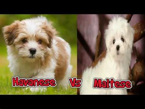 havanese vs maltese strong puppy puppies