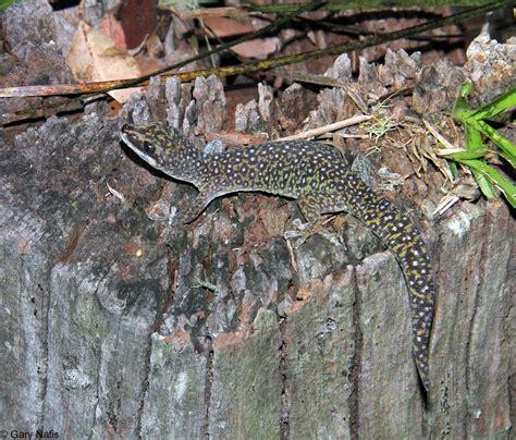 australian backyard lizards 100 backyard lizards green anole photo gallery a