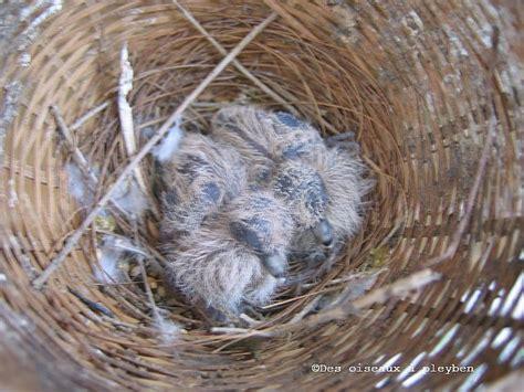 Tempat Pakan Burung Perkutut perkutut australia geopelia cuneata enter your