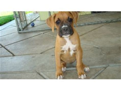 boxer puppies for sale in california boxer puppies in california