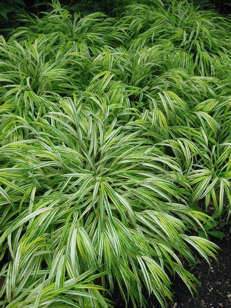blattpflanzen garten hakonchloa macra hakone grass japanese forest grass