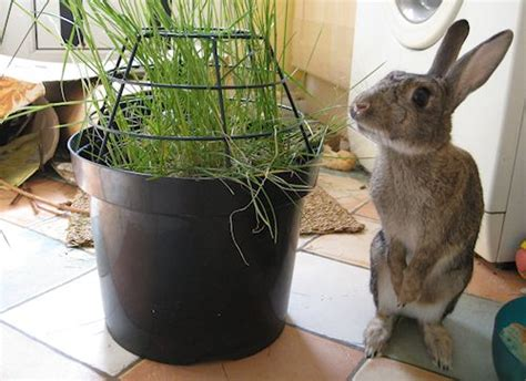 indoor garden for rabbits what a clever idea for letting bunnies eat indoor grass