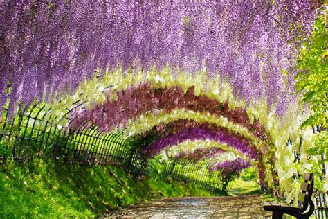 japan flower tunnel walk through wisteria tunnel at kawachi fuji garden