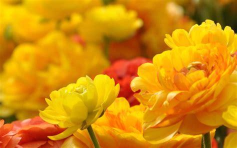 piante fiori gialli 10 fiori gialli per luce al giardino