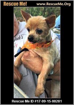 yorkie rescue south florida florida yorkie rescue adoptions rescueme org