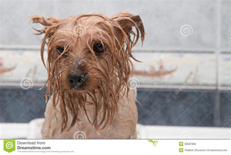 how to bathe yorkie puppy terrier after the bath royalty free stock image image 36087886