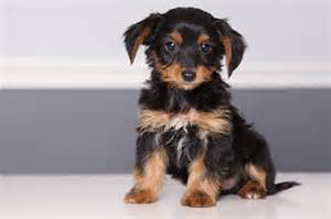 haired dorkie mixes dorkie dachshund yorkie mix facts pictures