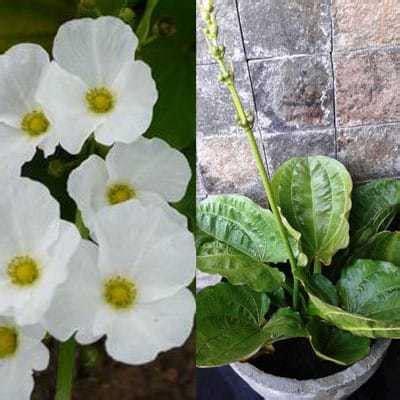 jual bibit unggul tanaman melati air mexican sword plant
