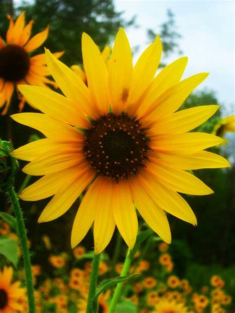 sunflower tiffany l the 25 best wild sunflower ideas on pinterest paper