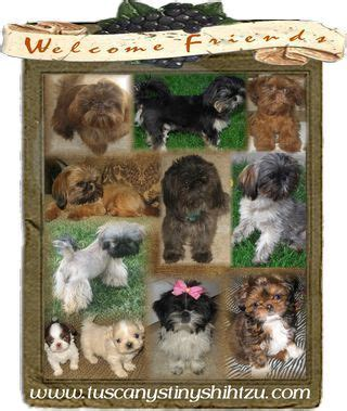 tuscany shih tzu tuscany s tiny shih tzu shih tzu dogs puppies tuscany