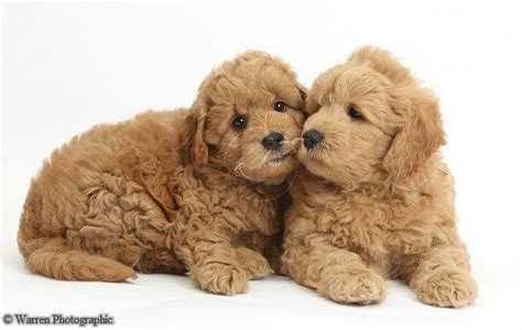 f1b goldendoodle puppies f1b goldendoodle puppies goldendoodle dogs