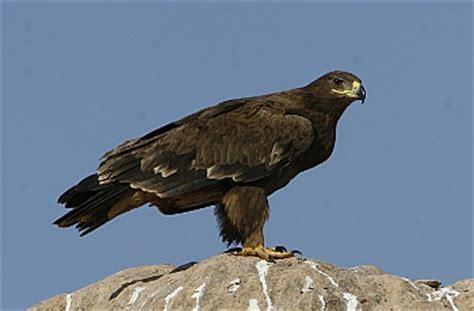 Aquila Hitam elang steppe rivanputra s
