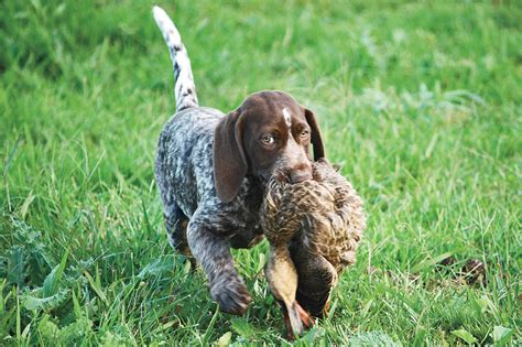 how to gun dogs gun q a how to stop blind whining gun magazine