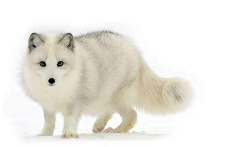 arctic fox wikipedia the free encyclopedia arctic fox background hd wallpaper wiki