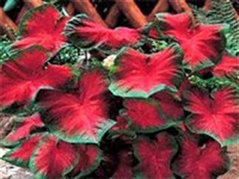 Pot Gantung Mawar 01 gambar dan nama tanaman hias hortikultura budidaya