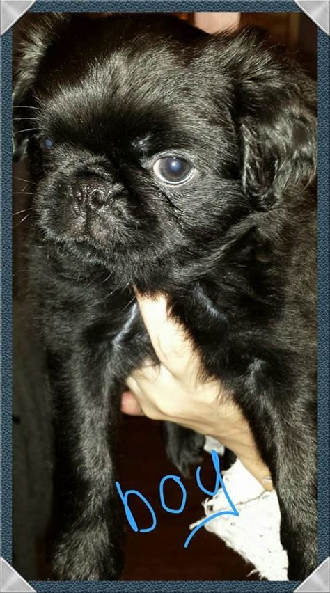 haired pug haired kc reg black pug morecambe lancashire pets4homes