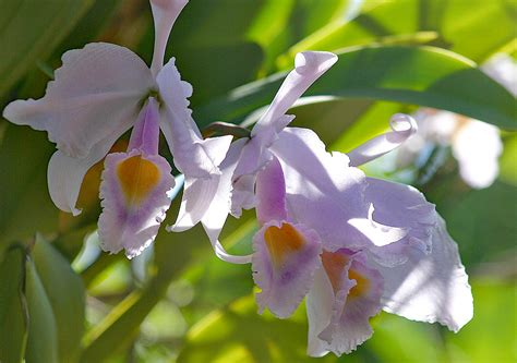 7 interesting facts about colombian orchids colombia cattleya flowers information 4k wallpapers