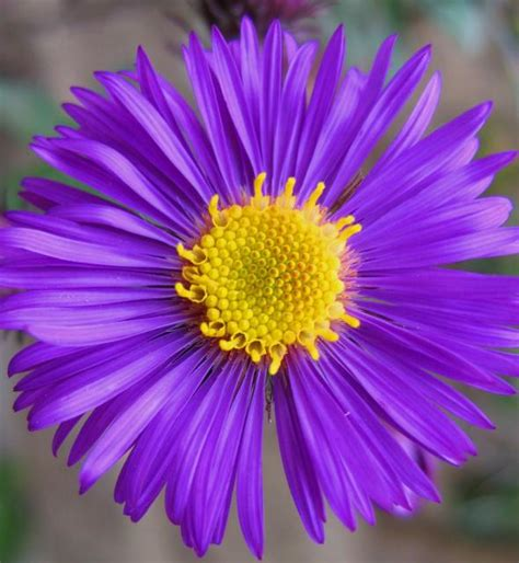 Rich Dark Purple Aster Flower Jpg Hi Res 720p Hd Aster Flower Gallery