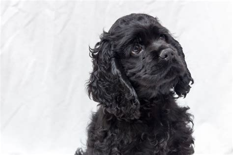 american cocker spaniel puppies for sale stunning american cocker spaniel puppies for sale dagenham essex pets4homes