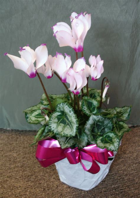 flowering house plants identification cyclamen 5 quot flowering house plant plants pinterest