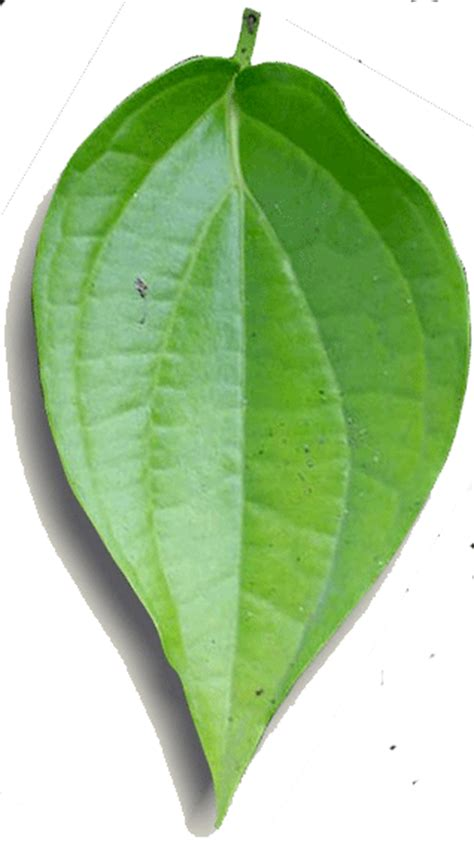 Betel Leaf Daun Sirih Essential 5ml the benefits of betel leaves and green for health completely elegal
