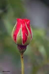 kuncup dsc 4243 jpg 1 000 215 1 504 pixels flowers pinterest