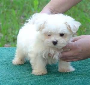 Maltese breeders maltese popular dog breeds us dog breeds index