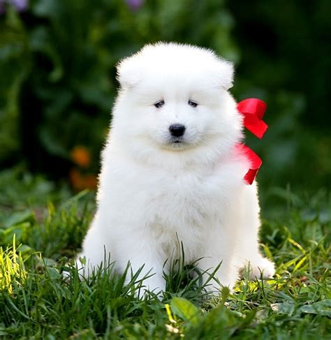 samoyed puppies colorado sherry samoyed puppies samoyed puppies available for