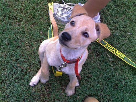 my golden retriever puppy wont stop biting puppy play biting 7 year child forum puppy behavior help