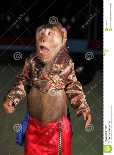 circus chimpanzee monkey   suit   hat stock photo
