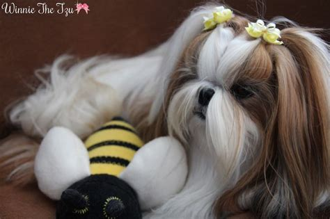 shih tzu intelligence level 17 best images about asian fusion grooming on pets grooming