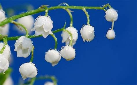 fiori mughetti mughetti piante perenni pianta mughetto
