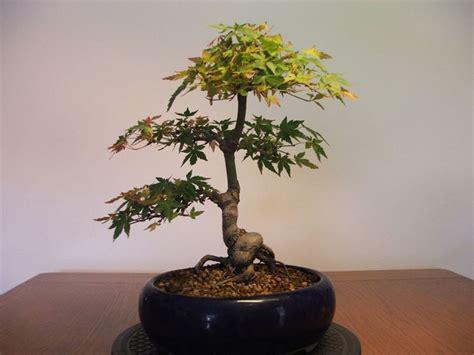 bonsai da fiore acero da fiore abutilon hybridum abutilon hybridum
