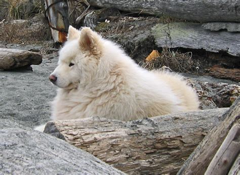 how much are samoyed puppies samoyed simple the free encyclopedia