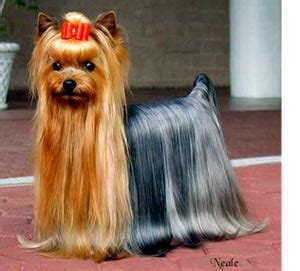 silver yorkies with long hair yorkshire terrier puppy cut pictures dog breed images