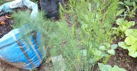 Benih Asparagus Besar panduan pertukaran polibag asparagus yang lebih besar