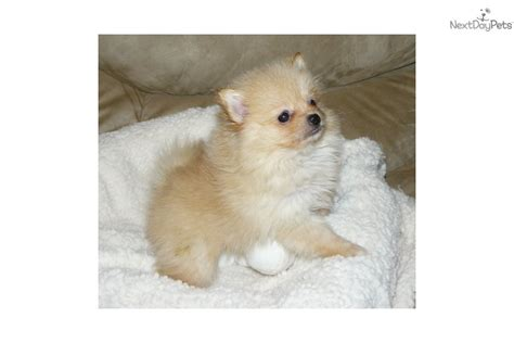 teacup pomeranian for sale in ct meet puffin a pomeranian puppy for sale for 1 000 akc delivery il in oh