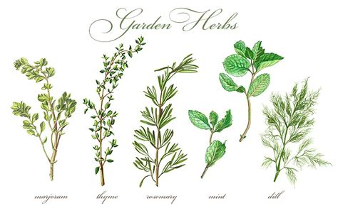 garden herbs set pencil drawing illustrations creative