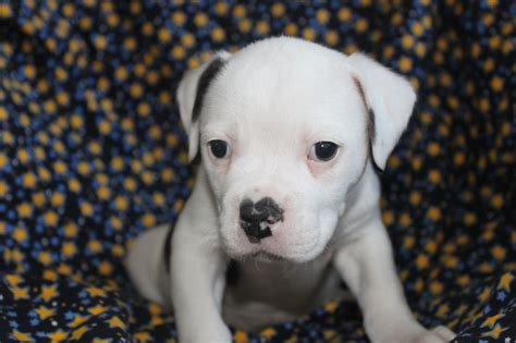 american bulldog puppies for sale in nj die besten 25 american bulldog for sale ideen auf amerikanischer pitbull